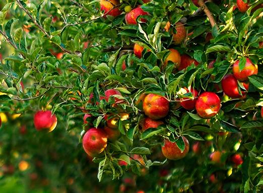 Lavoura de maçãs