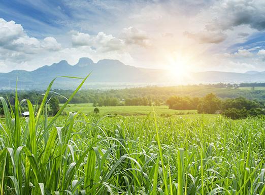 Clima afeta cana-de-açúcar