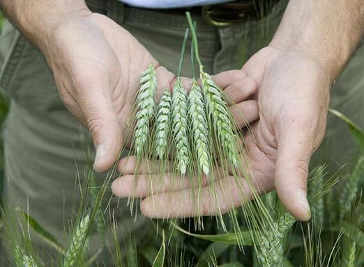 Duas mãos segurando trigo colhido