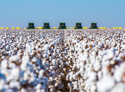 produtividade da cultura de algodão