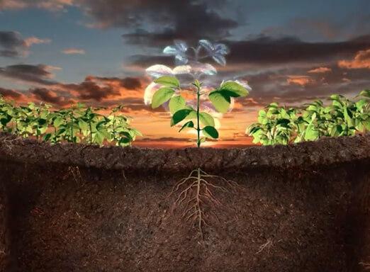 Imagem que mostra a raiz de uma planta de soja