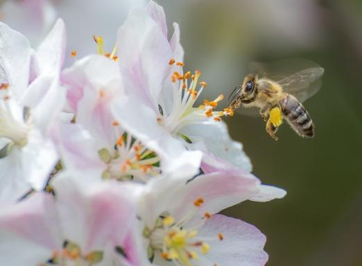abelha-fazendo-polinização