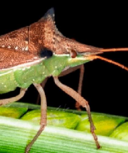 Percevejo barriga-verde
