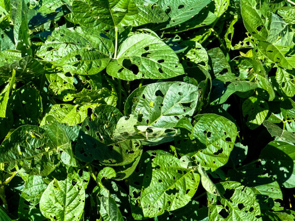 Danos nas folhas de soja