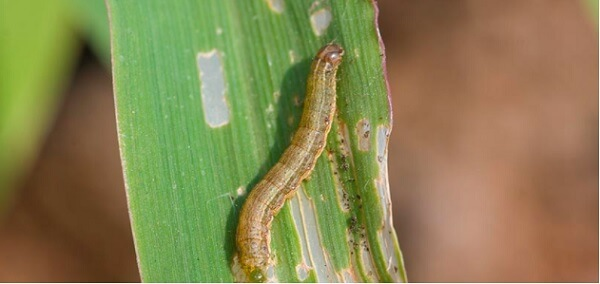 A Spodoptera frugiperda pode proporcionar prejuízos de até 60% na produtividade do milho se o controle não for feito no momento certo