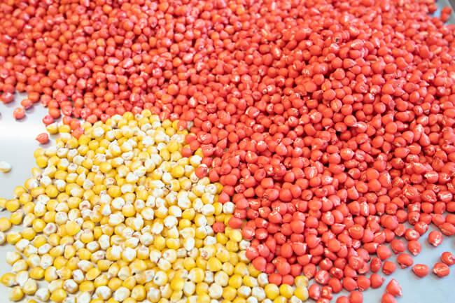 Sementes de milho não tratadas (amarelas) e tratadas (vermelhas)