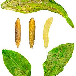 larva-minadora-das-folhas