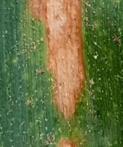 Mancha-parda