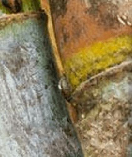 Podridão-abacaxi
