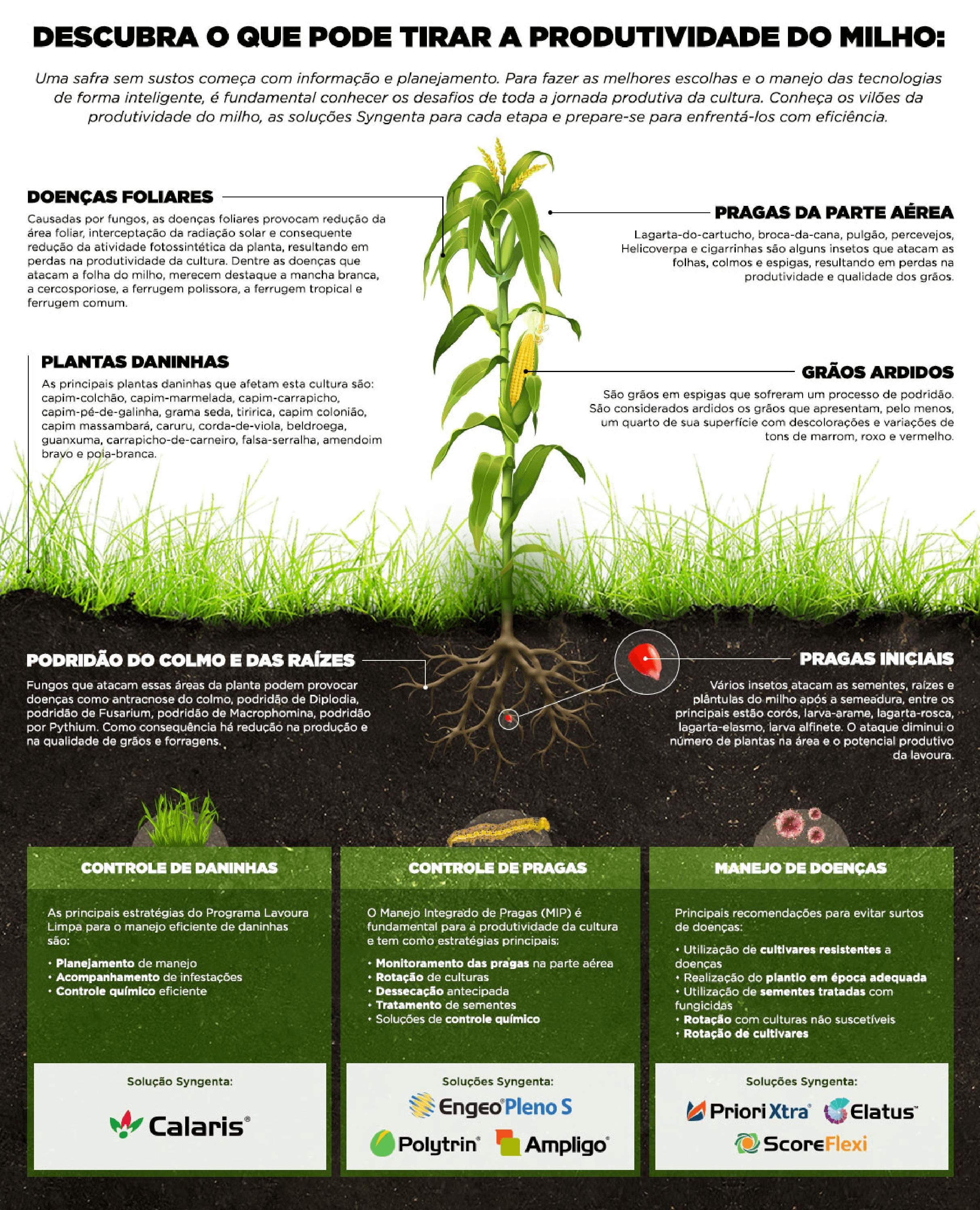Descubra o que pode tirar a produtividade do milho.