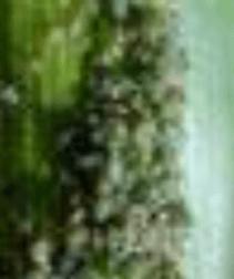 Pulgão-do-milho